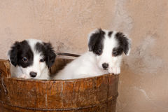 Perritos del collie en un cubo Fotos de archivo