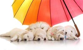Perritos del golden retriever que duermen debajo de un paraguas colorido fotos de archivo libres de regalías