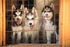 Perritos del husky siberiano en una jaula aviary Fotografía de archivo
