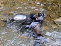 Perritos del lobo marino de Nueva Zelanda en la corriente de Ohau Imagenes de archivo