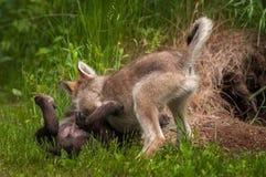 Perritos del lupus de Grey Wolf Canis que luchan Foto de archivo libre de regalías