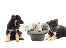Perritos del pastor alemán y gatitos del doblez de británicos foto de archivo libre de regalías