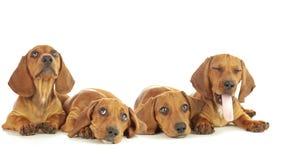 Perritos del perrito cuatro del perro basset almacen de video
