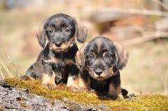 Perritos del perro basset Fotografía de archivo