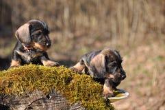 Perritos del perro basset Foto de archivo libre de regalías