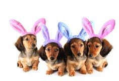 Perritos del perro basset del conejito de pascua Foto de archivo