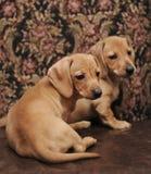 Perritos del perro basset de Brown Foto de archivo libre de regalías