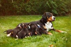Perritos del perro de la montaña Imágenes de archivo libres de regalías