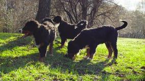 Perritos del perro de pastor de Bernese en una hierba en un parque
