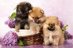 Perritos del perro de Pomerania Fotos de archivo libres de regalías
