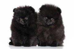 Perritos del perro de Pomerania Fotografía de archivo libre de regalías
