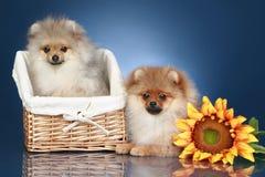 Perritos del perro de Pomerania (5 meses) en cesta Imagen de archivo libre de regalías