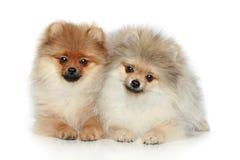 Perritos del perro de Pomerania (5 meses) sobre blanco fotos de archivo