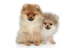 Perritos del perro de Pomerania (5 meses) sobre blanco imagenes de archivo