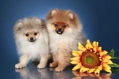 Perritos del perro de Pomerania con el girasol en fondo del ablue fotografía de archivo libre de regalías