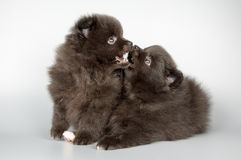 Perritos del perro de Pomerania-perro imagenes de archivo