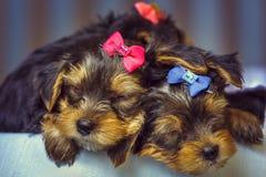 Perritos del perro del terrier el dormir Yorkshire Fotos de archivo libres de regalías