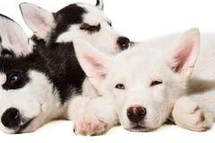 Perritos del perro esquimal siberiano Imágenes de archivo libres de regalías