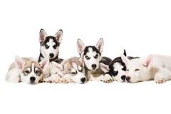 Perritos del perro esquimal siberiano Imagenes de archivo