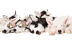 Perritos del perro esquimal siberiano Fotografía de archivo