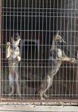 Perritos del perro pastor Imágenes de archivo libres de regalías