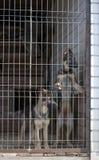 Perritos del perro pastor Imagen de archivo