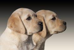 Perritos del perro perdiguero de Labrador Imagen de archivo libre de regalías