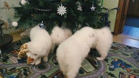 Perritos del samoyedo en el árbol de navidad almacen de video