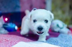 Perritos del terrier blanco de montaña del oeste fotos de archivo libres de regalías