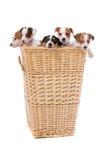 Perritos del terrier de Gato Russel Imagenes de archivo