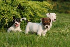 Perritos del terrier de Gato Russell Fotos de archivo