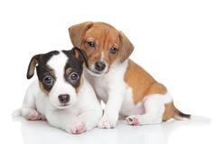 Perritos del terrier de Jack Russel Imágenes de archivo libres de regalías