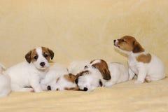Perritos del terrier de Jack Russell Foto de archivo