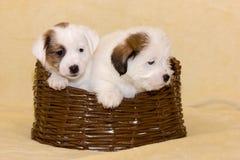 Perritos del terrier de Jack Russell Imagen de archivo