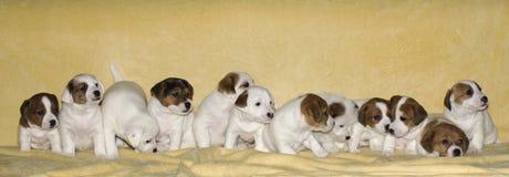 Perritos del terrier de Jack Russell Fotografía de archivo