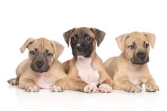Perritos del terrier de Staffordshire americano Fotografía de archivo