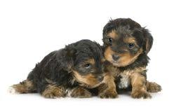 Perritos del terrier de Yorkshire (1 mes) Fotos de archivo