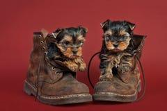 Perritos del terrier de Yorkshire Fotografía de archivo