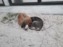 Perritos dormidos en la playa en la isla de Mauricio Fotos de archivo libres de regalías