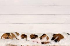 Perritos dulces lindos que duermen en un pedazo de piel con la madera blanca en fondo Foto de archivo