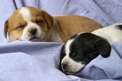 Perritos el dormir Foto de archivo libre de regalías