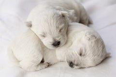 Perritos el dormir Fotos de archivo libres de regalías