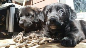 Perritos en cadenas Imagen de archivo libre de regalías