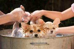 Perritos en un baño Foto de archivo libre de regalías