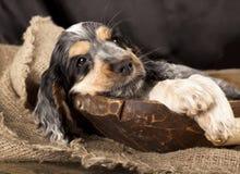Perritos ingleses de los perros de aguas de cocker Imagen de archivo libre de regalías