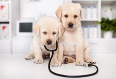 Perritos lindos de Labrador con el estetoscopio en el doctor veterinario fotos de archivo