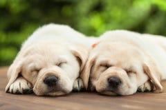 Perritos lindos de Labrador que duermen en cubierta de madera - en fondo verde del follaje imagenes de archivo