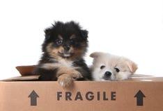 Perritos lindos de Pomeranian dentro de una caja de cartón Imagenes de archivo