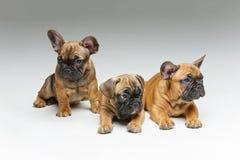 perritos lindos del dogo francés Imagen de archivo libre de regalías