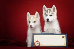 Perritos lindos del husky siberiano sobre bandera imagen de archivo